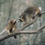 снимок еноты на деревце