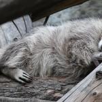 снимок енот спит