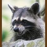 снимок злющий енот