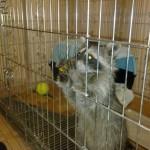 фотография енот дома в клетке