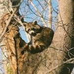 фотография енот на деревце
