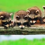 фотография четыре маленьких енота