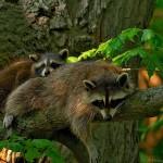 фото два енота на дереве