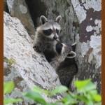 фото два енота на дереве (2)