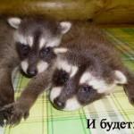 фото два маленьких енота