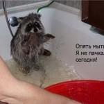 фото енота купают