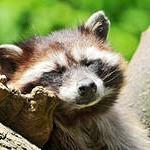 фото енотик спит
