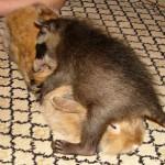 фото енотт играется с кроликом