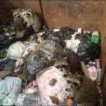 фото еноты в мусоре