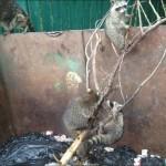 фото еноты в мусорном баке