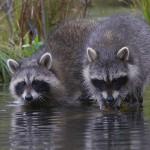 фото еноты мама и дочка на водопое