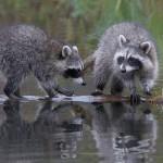 фото еноты на озере