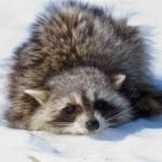 фото еноты на снегу