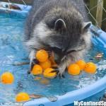 фото енот в бассейне