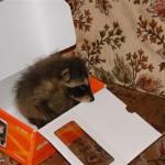 фото енот в коробке