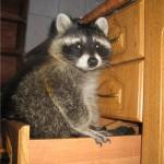 фото енот в шкафу