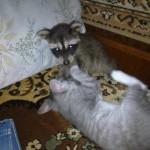 фото енот играется с котом