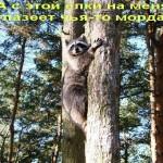 фото енот лезет на дерево