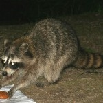 фото енот ночью в лесу