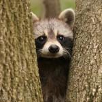фото енот спрятался между деревом