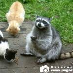 фото енот с кошками