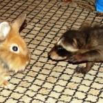 фото енот с кроликом