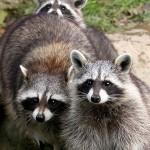 фото семья енота