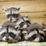 фото семья енотов