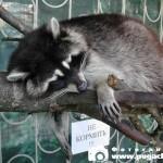фото спящий енот