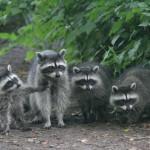 фото четыре енота на прогулке