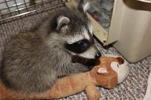 raccoon-rre001.jpg