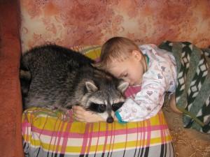 содержание енота в домашних условиях, как содержать енота дома, как содержать енота в квартире, как содержать енота полоскуна в квартире, енот как домашнее животное, содержание енота в квартире, еноты дома, сколько живет енот полоскун,