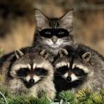 "Найди кота. . Музей енотов ""Дом Енота"" www.dom-enota.ru"