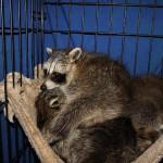 raccoon-r001