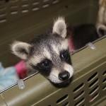 raccoon-r002