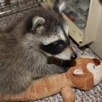 raccoon-rre001