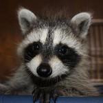 raccoon-rre002