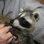 raccoon-rre003