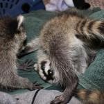 raccoon-rre004