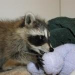 raccoon-rre005