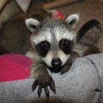 raccoon-rre006