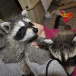 raccoon-rre007