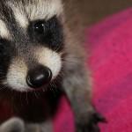 raccoon-rre008