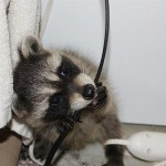 raccoon-rre010