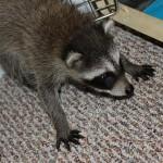 raccoon-rre011