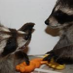 raccoon-rre012