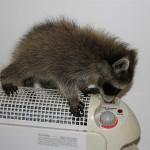 raccoon-rre013