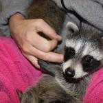 raccoon-rre014