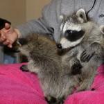raccoon-rre015