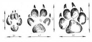 Следы правой передней лапы енотовидной собаки (слева